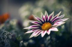 Quelque part dans le temps (Sylvain Dorais) Tags: nature fleurs bokeh exterieur nikond7000