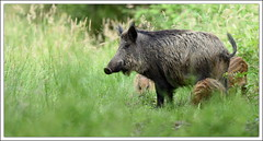 promenade familiale (guiguid45) Tags: nature nikon animaux fort sauvage loiret sangliers mammifres 500mmf4 d810 fortdorlans
