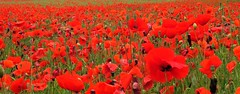 Remembering those that fell. (A tramp in the hills) Tags: poppies somme