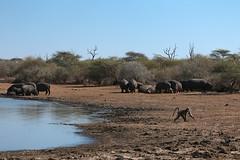 At the waterhole (crafty1tutu (Ann)) Tags: travel holiday water animal southafrica hippopotamus baboon waterhole krugernationalpark 2014 anncameron sunsetdam canon100400mmlens canon7d naturethroughthelens crafty1tutu naturescarousel
