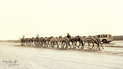 Desert Life ! (kdmanojkumar) Tags: dubai desert uae camel abudhabi raiders