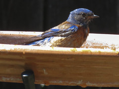 IMG_2517 (sfanshier) Tags: bird backyard birdbath birding westernbluebird