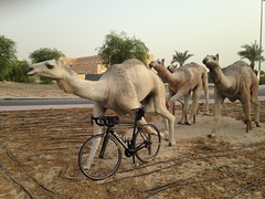 Racing Camels Statue, Dubai (Patrissimo2017) Tags: bicycle dubai camels specializedtarmac