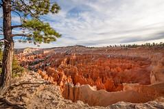 Old Pine at Bryce Canyon (danielacon15) Tags: usa utah nationalpark bryce brycecanyon