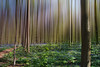 into the woods (-justk-) Tags: forest woods bos bluebell mystic hallerbos boshyacint commonbluebell