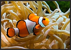 Clownfish (Amphiprion ocellaris) (Erik v Hassel) Tags: haps erikhaps nikon d5100 nederland holland dutch anemoonvis amphiprionocellaris clownfish nemo driebandanemoonvis aquarium oranje ouwehands dierentuin rhenen beautiful fraai excellent flickr view splendid beauty best wonderful fantastic awesome stunning incredible magic nice perfect photo image shot foto lovely ngc macro yellow flower close up