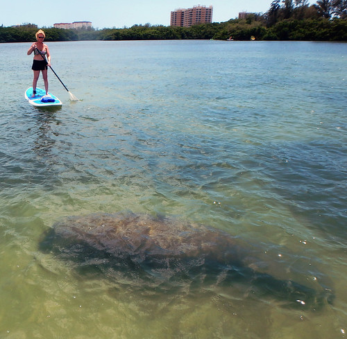 Paddleboard with manatee Lido Key in Sarasota FL