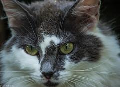 Do you know what i mean (tinellifabio) Tags: portrait cats animal yellow cat canon eyes feline occhi sguardo felino gatto gatti animale yelloweyes profilo espressione 600d animaledomestico occhigialli 55250
