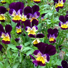 "These beautiful wildflowers are flourishing between the main chicken coop and barn this spring. Seeing them while I was doing my morning chores certainly improved my day. I hope that seeing this photo in your newsfeed will improve yours! • <a style=""font-size:0.8em;"" href=""http://www.flickr.com/photos/54958436@N05/17815793405/"" target=""_blank"">View on Flickr</a>"