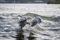 Dolphin Cruise (AP Imagery) Tags: ocean cruise nature animal jump gulf florida dolphin alabama gulfshores splashing