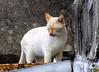 Gato Branco Lingua (Di Malagutti) Tags: animal gatos gato gatobranco gatosbrancos