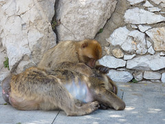 Macaca sylvanus (Nelleke C) Tags: holiday vakantie unitedkingdom mammals gibraltar 2016 barbarymacaque macacasylvanus zoogdier berberapen