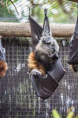 DSC_0519 (Stuart Lilley Photography) Tags: au bat australia flyingfox westernaustralia bats hillarys whiteman