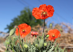 141/366 Poppies (Helen Orozco) Tags: red scarlet poppy papaverrhoeas canonrebelsl1 2016366