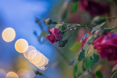 Night Rose Bokeh (Nikan Likan) Tags: pink blue red paris color green up rose yellow night zeiss vintage insect lens prime close purple bokeh 10 jena german carl m42 f2 manual 58mm depth blades fiel | 2016 biotar carlzeissjena