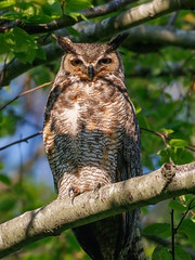 Great Horned 5_23 (krisinct- Thanks for 12 Million views!) Tags: canon 500 f4 80d