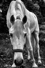 White Horse (josebrito21) Tags: horse blackwhite cavalo whitehorse cavalobranco argoncilhe