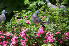 Pretty Pink Petal Pigeon Party (cuppyuppycake) Tags: pink flowers party tree bird nature animal nikon outdoor pigeon petal perched d7200