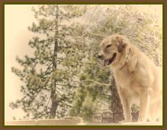 Angel in disguise (Karon Elliott Edleson) Tags: monochrome angel goldenretriever golden canine retriever highkey mansbestfriend atticus topazbweffects
