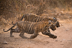 ADS_0000103704 (dickysingh) Tags: wildlife tiger tigers ranthambore indianwildlife ranthambhorenationalpark