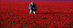 Stuck in the middle ;) (Pics4life.nl off and on next week) Tags: camera red man colors photo nikon pretty blauw purple nederland tulip rood landschap tulpen paars zeewolde kleur kleuren bollenveld bloemenveld