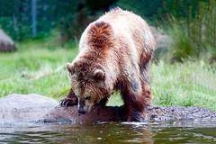 Grizzly Bear (Chen Yiming) Tags: sanfrancisco california bear animal zoo bayarea sanfranciscobay grizzlybear