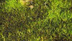 Kleines Moos, ganz gro; Schwabstedt-Hollbllhuus, Wildes Moor (26) (Chironius) Tags: germany deutschland pantano peat swamp bottoms alemania marsh grn moor bog marais allemagne germania schleswigholstein sump ogie sumpf pomie  sphagnum schwabstedt nordfriesland niemcy bryophyta tourbire sphagnaceae   turbera sphagnopsida sphagnales pomienie laubmoose marcageuse szlezwigholsztyn torfmoose sphagnophytina