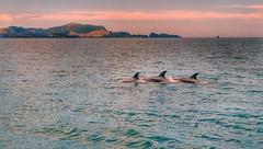 One Two Three (FlavioSarescia) Tags: ocean travel sunset sea newzealand summer sky sun nature water sunshine clouds swimming swim landscape whale whales orca orcas