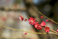 ume_7 (ecofemi) Tags: red flower nature japan bloom ume