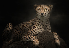 Ich bin ganz entspannt (ellen-ow) Tags: animal cat cheetah predator tier gepard raubkatze raubtiere sugetiere inexplore nikond700 katzenartige kleinkatzen ellenow