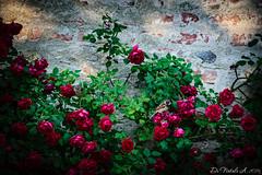 Bird hide and seek (Alessandro Di Natale) Tags: red flower muro verde green bird fun nikon uccelli fiori tamron rosso divertente mattoni d3300