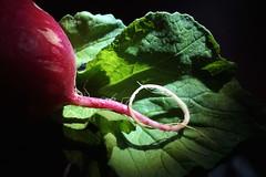 Radieschen (Radish) (dl1ydn) Tags: garden radish radieschen