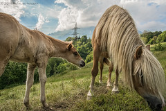 horses (Rose-LlyodeLays) Tags: nature blonde cavalli