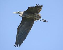 Birds on the Wing (ardeth.carlson) Tags: birds largebirds flyingbirds flight nature greatblueheron