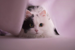 Soft (lex.Garcia) Tags: pink portrait pets cat persian eyes soft calm gata calma mascotas persa