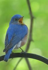 Bluebird Song (roxiethree) Tags: ohio nature bluebird northeastern