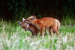 2 foxes (cseager40) Tags: wild ontario spring play den fox kits
