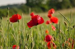 Poppies in the Field. (andreasheinrich) Tags: red rot nature field june juni germany deutschland evening abend spring colorful warm natur feld sunny poppies sonnig frhling farbenfroh mohnblumen neckarsulm dahenfeld nikond7000