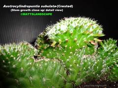 Austrocylindropuntia subulata-(Crested) pic #3 stem growth detailed (mattslandscape) Tags: cactus plant art work unusual crested rare kakteen cristata rareplants subulata austrocylindropuntia monstrose