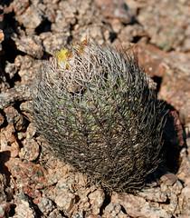 Neoporteria bulbocalyx (Umadeave) Tags: cactus argentina argentine plante flora desert flore neoporteria bulbocalyx