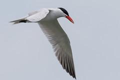 DUD_3848r (crobart) Tags: lake ontario bird birds port caspian erie tern dover