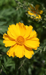 LAKESIDE (SUNDANCER) DAISY in Staten Island, New York, USA. May, 2016 (Tom Turner - SeaTeamImages / AirTeamImages) Tags: nyc usa newyork nature yellow unitedstates daisy statenisland bigapple tomturner lakesidedaisy manitoulingold stemlessrubberweed therbace sundancerdaisy