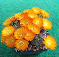 Sulcorebutia aureiflora JK 189 (pleun.kamp) Tags: sulcorebutia aureiflora