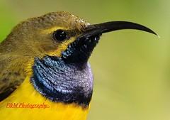 Olive Backed or Yellow-breasted Sunbird (Nectarinia jugularis). (paulberridge) Tags: bird nature hummingbird wildlife australia queensland cairns sunbird
