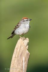 Chipping Sparrow (jackdean3) Tags: wild bird nature jack kentucky dean sparrow chipping