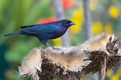 Mirlo  (ik_kil) Tags: mirla shinycowbird molothrusbonariensis santiago reginmetropolitana avesdechile birds mirlo tordorenegrido chile