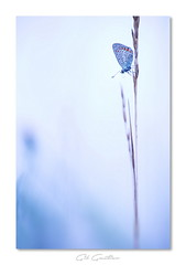 Bleu ciel (Gil Gautier @GilGPhotographie) Tags: gilgphotographie gilgautier nikon d4s 180mm sigma bleu blue papillon butterfly