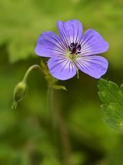 Summer 2016 LBG C112 (Lostash) Tags: nature life plants flora flowers gardens leicesterbotanicalgardens