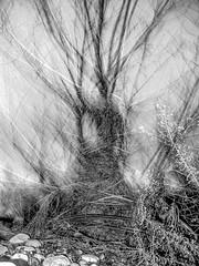 sculpture naturelle (zventure,) Tags: noiretblanc nature nuit noir monochrome alpesmaritimes abstrait abstract aube arbre bordsduvar buissons bois blackandwhite cailloux galets herbes hautelumire hiver