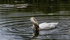 9Q6A2379 (2) (Alinbidford) Tags: heron kingfisher muteswan moorhen greyheron brandonmarsh alancurtis pairofkingfishers alinbidford